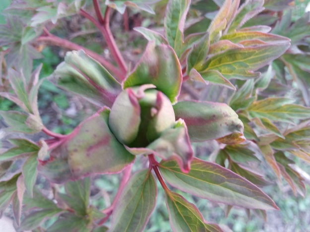 And the tree peonies are going to be great when they open up.