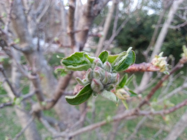 The apple trees have a lot of buds on them.