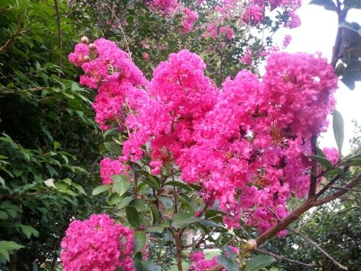 Hot Pink Crape Myrtle