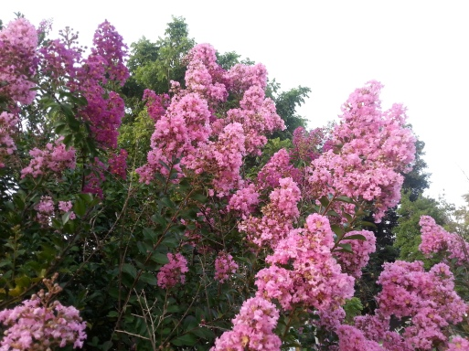 Pink and Purple Crape Myrtle