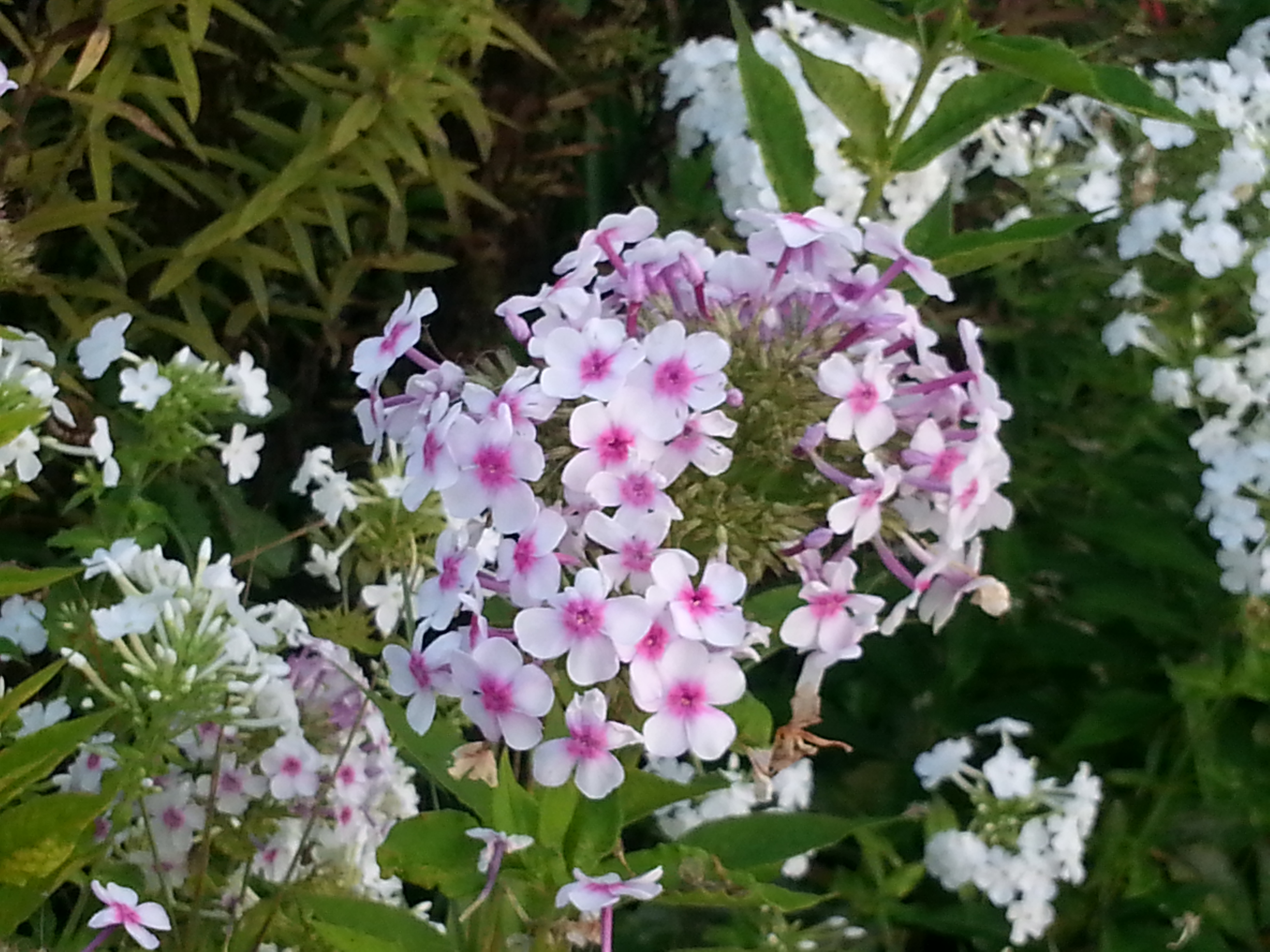 phlox mature singles Annuals / phlox mature height: elegant clusters of single blooms feature a variety of rich subtle colors ranging from scarlet through rose.