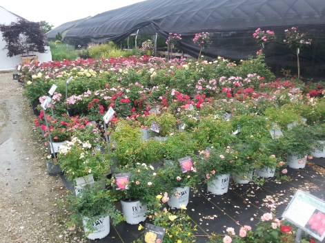 North Branch Nursery Roses