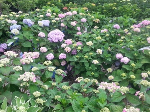 North Branch Nursery Hydrangeas