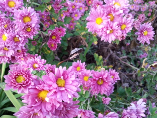 front mums