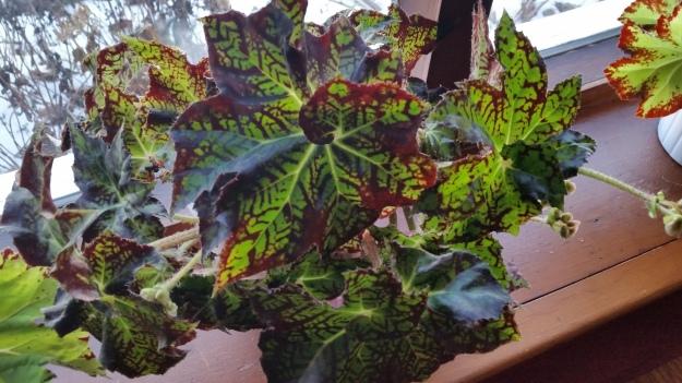 begonia 5