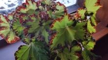 begonia 6