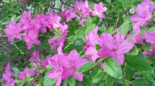 more azaleas
